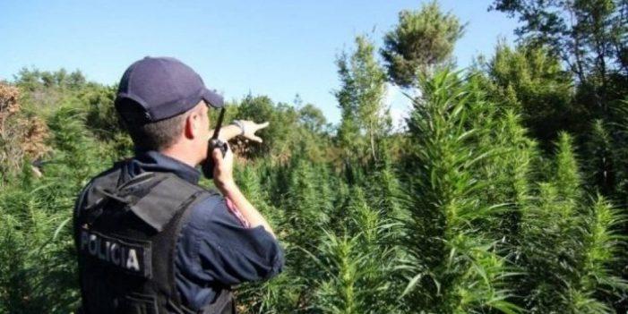 Zbulohen 2 mijë rrënjë kanabis në Dropull, shpallet në kërkim kultivuesi