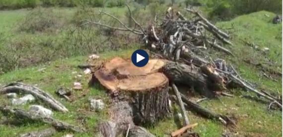 Prerja e pemëve në Zagori, ndjekje penale kompanisë private (VIDEO)