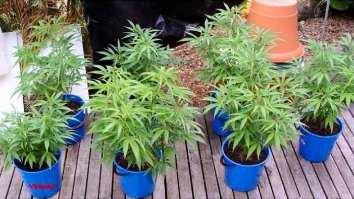 Në Lazarat dikur mbillej kanabis me parcela, sot e mbjellin në vazo. Arrestohen 5 persona për…15 rrënjë