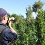 Posta policore e Libohovës zbulon kanabis në Zagori, një i arrestuar